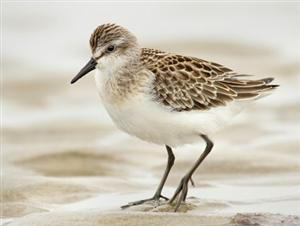 Picture of sandpiper